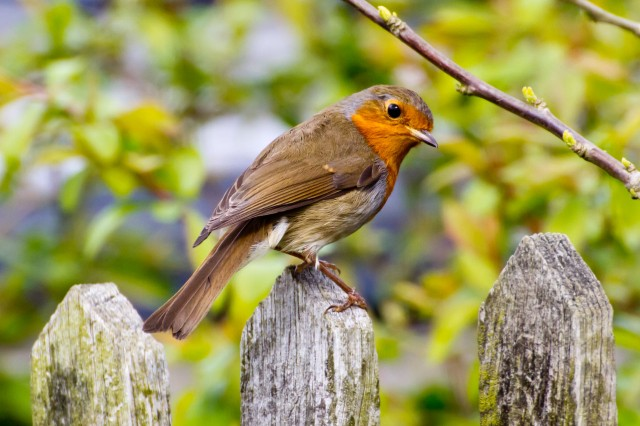 robin on fence