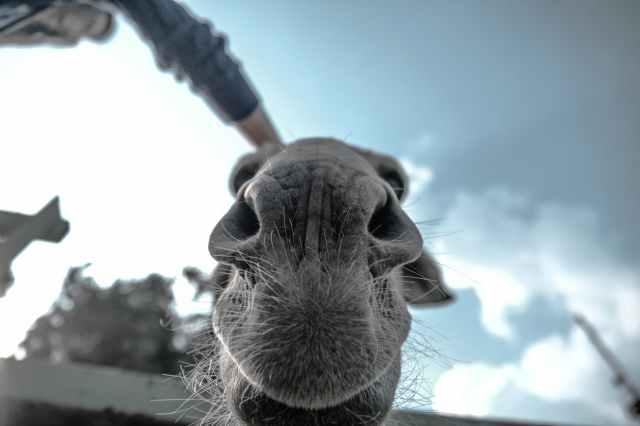 animal close up donkey